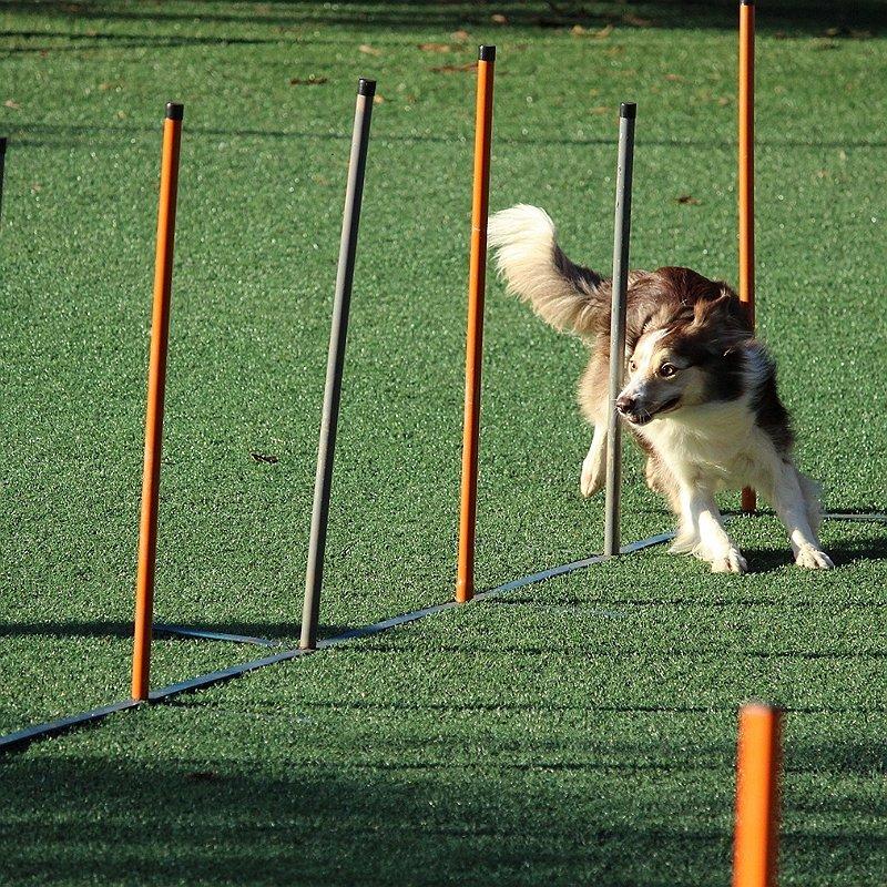 chien-agility-sport-compétition