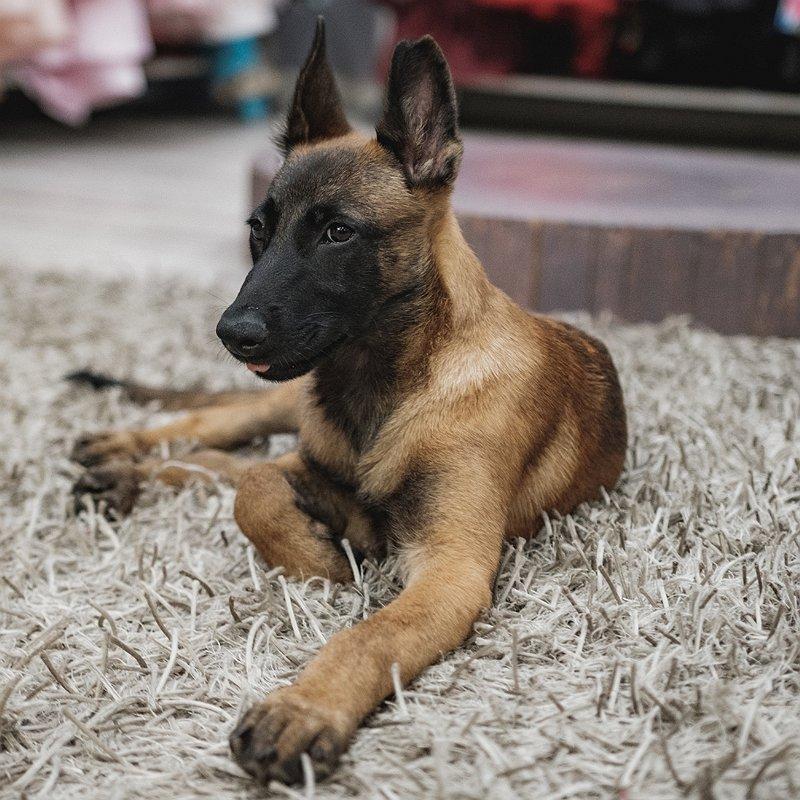 berger-belge-chien-préféré-france-blog-crocandiz