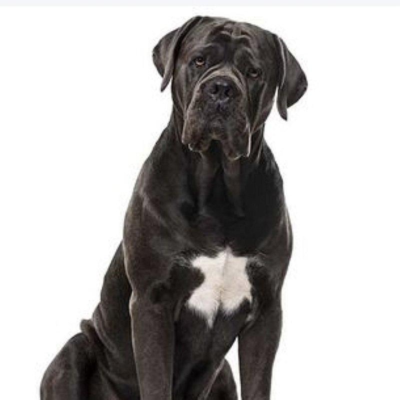cane-corso-chien-préféré-français-blog-crocandiz