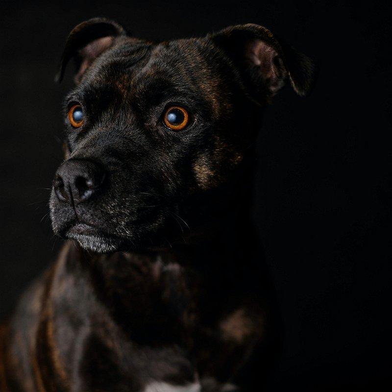 stafforshire-bull-terrier-chien-préféré-france-blog-crocandiz