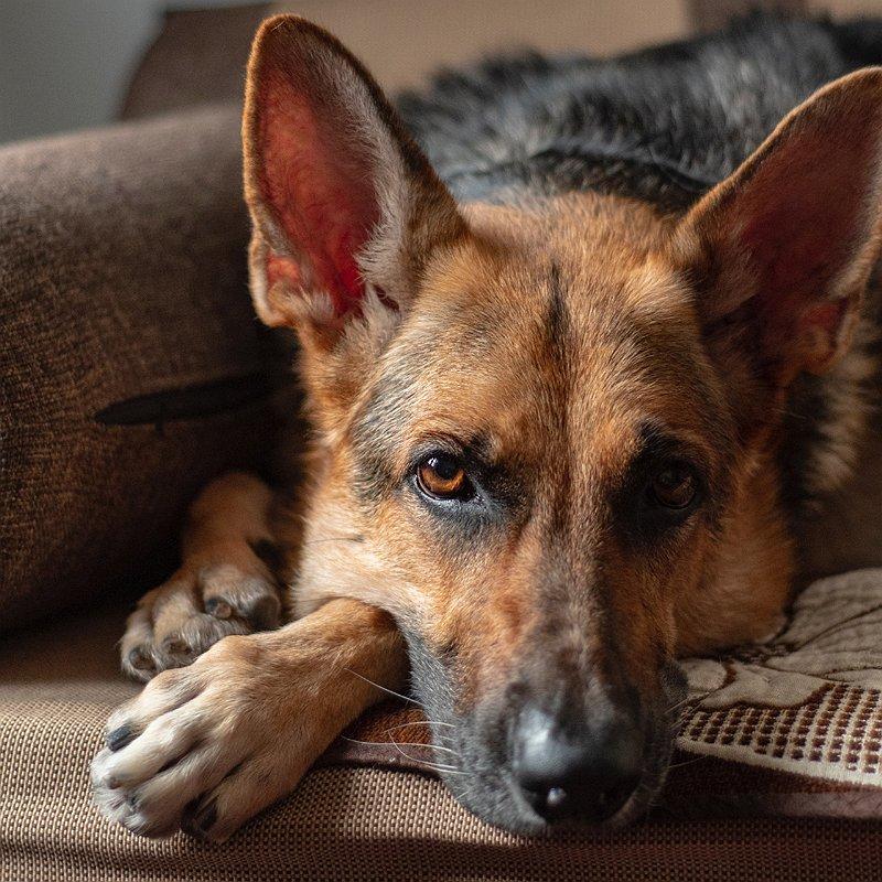 chien-berger-allemand