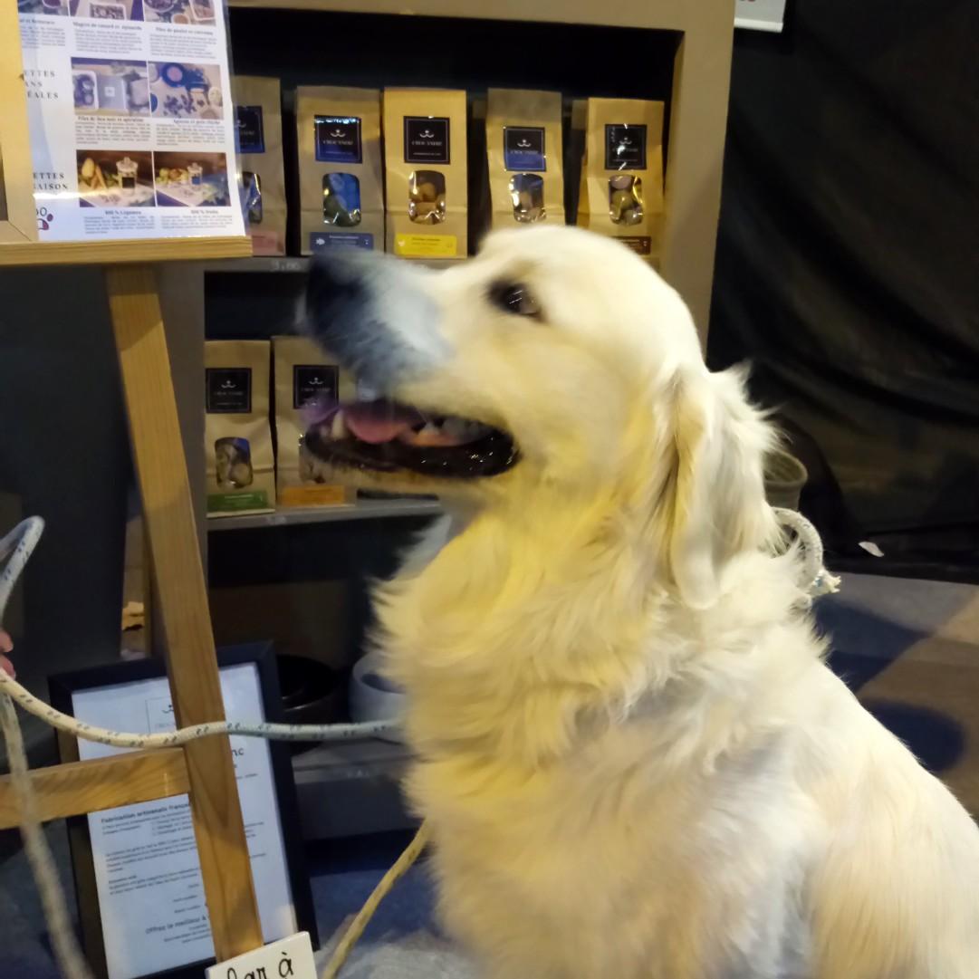golden-retriever-chien-stand-crocandiz